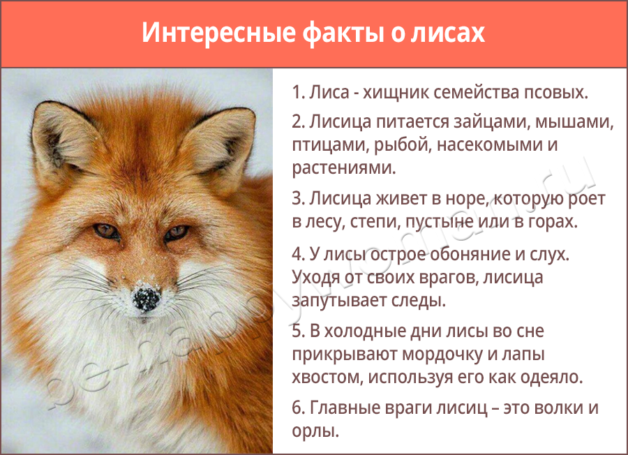 факты о лисах